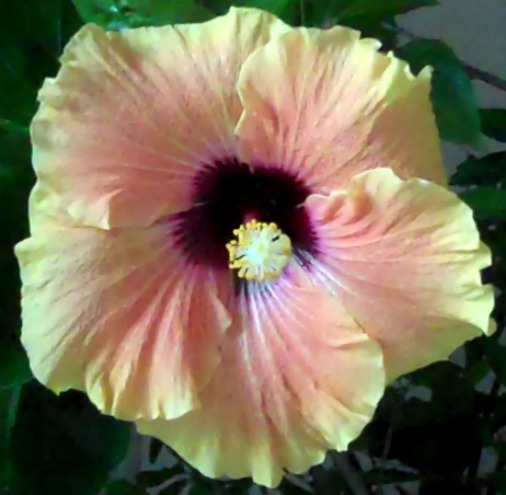 Hibiscus, yellow